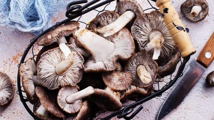 cogumelo reishi