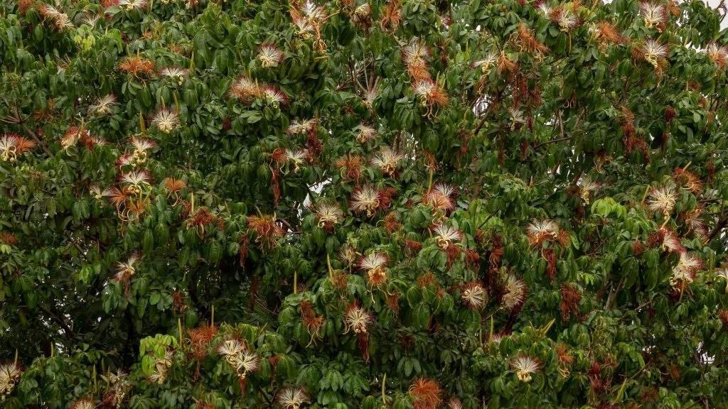 Flores de monguba