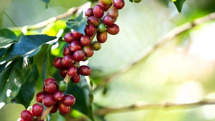 café jacu bird